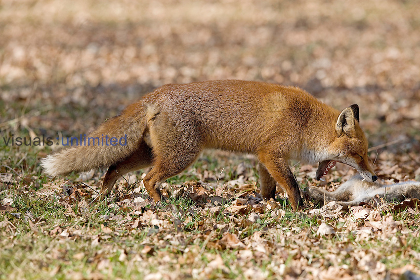 Red Fox (Vulpes vulpes) male with European Rabbit prey (Oryctolagus cuniculus), Normandy, France
