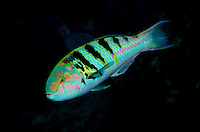 Sixbar Wrasse, Thalassoma hardwicke. Beqa Lagoon, Viti Levu, Fiji, Pacific Ocean