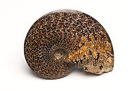 Ammonite fossil (Placenticeras placenta). Cretaceous Bear Paw Shale. Rosebud County, Montanna, USA.
