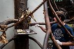 As a precaution the guards put on gloves to feed the monkeys. Primates, which share 98 porcent of our DNA, could be at risk from COVID-19. Due to a coronavirus pandemic (COVID-19), Servion Zoo is closed to the public. Servion, Switzerland, April 30, 2020.<br /> Par precaution les gardiens mettent des gants pour nourir les singes. Les primates, qui partagent 98 pourcent de notre ADN, pourraient etre en danger face au COVID-19. Pour cause de pandemie de coronavirus(COVID-19), le zoo de Servion est ferme au public. Servion, Suisse, le 30 avril 2020.