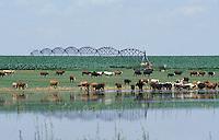 Cows in playa lake; Texas