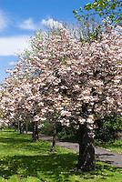 Prunus Shirofugen