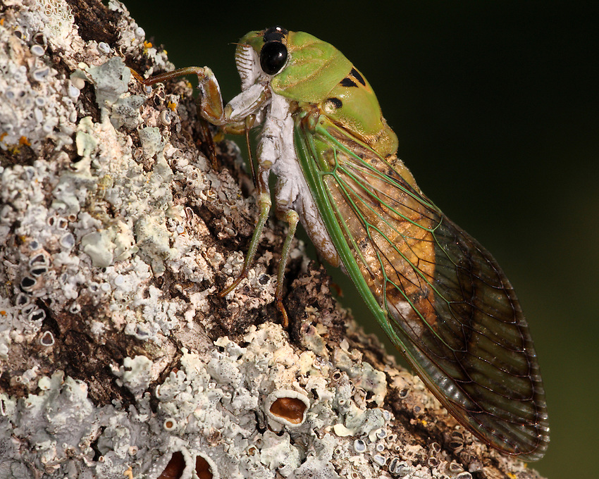 "The Superb Green Cicada (Tibicen superbus) is a summer resident of the south-central United States west to New Mexico. Sometimes called simply Green Cicada or ""harvestflies"" or ""dog day cicada"" these insects emerge from the larva stage during the hot days of summer."