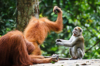 A child Sumatran orangutan (Pongo abelii) fights with a macaque  over a banana in Gunung Leuser National Park in Northern Sumatra.