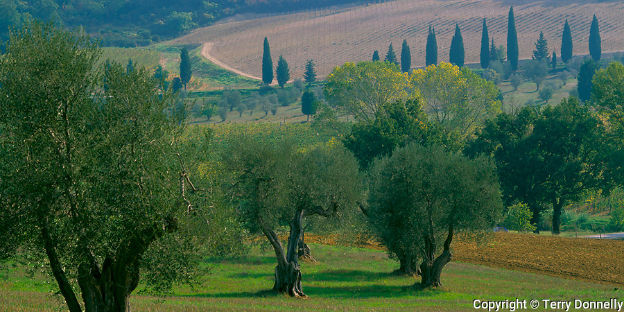 Tuscany, Italy: Olive trees and cypress scattered among the rolling fields of the Val d0Orcia near the village of Castelnuovo dell'Abate