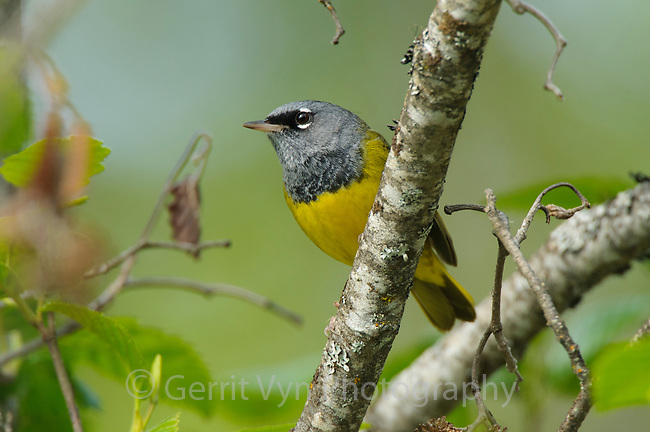 Adult MacGillivray's Warbler (Oporornis tolmiei). Pend Oreille County, Washington. May.