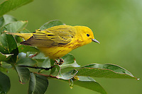 "4 1/2-5"" (11-13 cm). Bright yellow with a light olive green tinge on back. Male has fine rusty streaks on breast. The only largely yellow warbler with yellow spots in the tail. Song a bright, musical sweet-sweet-sweet, sweeter-than-sweet. Call a sharp chip."