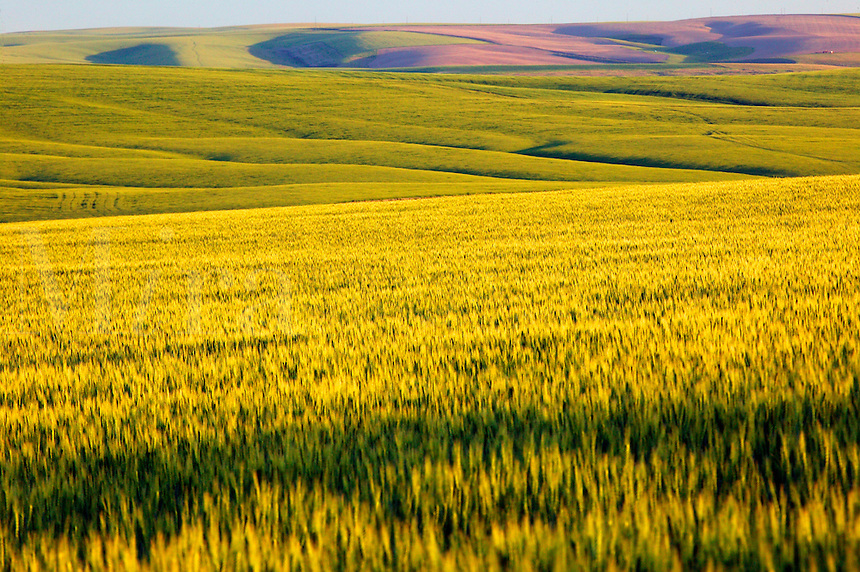 Rolling hills of wheat farmland near Ritzville, Eastern Washington