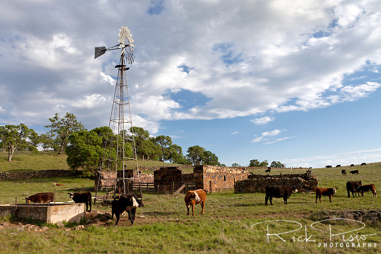 Cattle grazing at the ghost town of Telegraph City in California's foothills