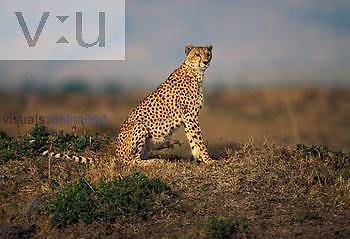 Adult female Cheetah ,Acinonyx jubatus, Masai Mara, Kenya, Africa