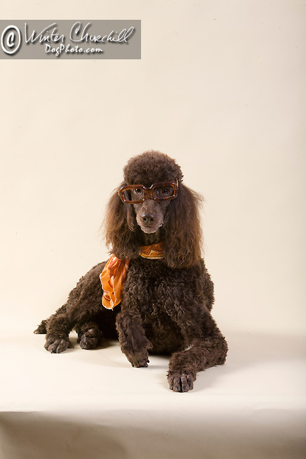 Poodle <br /> <br /> <br /> Shopping Cart has 3 Tabs:<br /> <br /> 1) Rights-Managed downloads for Commercial Use<br /> <br /> 2) Print sizes from wallet to 20x30<br /> <br /> 3) Merchandise items like T-shirts and refrigerator magnets