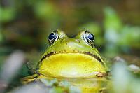 Green frog, Lithobates clamitans or Rana clamitans, front view Nova Scotia, Canada