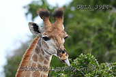Bob, ANIMALS, REALISTISCHE TIERE, ANIMALES REALISTICOS, wildlife, photos+++++,GBLA3914,#a#, EVERYDAY ,giraffe,giraffes