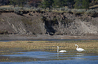 Trumpeter swans, a rare sight in Yellowstone, were hanging out in Hayden Valley.