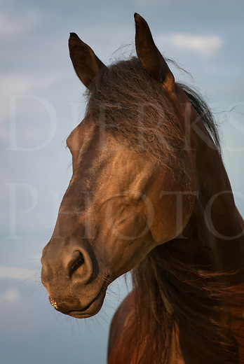 Horse looking away in attentive head shot close up, a pretty brown Fresian cross mare with long mane and forelock hair.