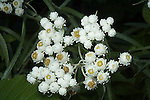 Pearly everlasting; Anaphalis margaritacea<br />