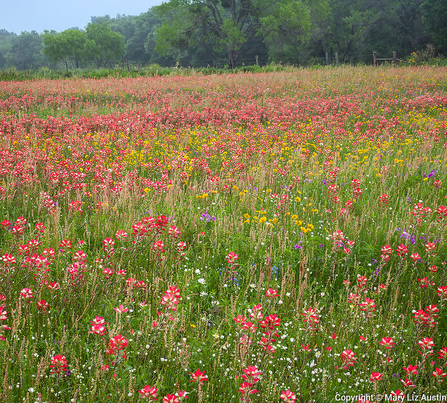 Seguin, Guadalupe County, TX: Field of wildflowers including Indian paintbrush, bluebonnets, fleabane and coreopsis with distant oak tree.