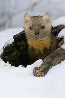 Pine Marten peering out of a snow covered tree stump - CA