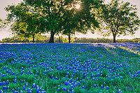 Nice Bluebonnets fields under this tree in the Texas Hill Country with the sun rays peeping through the branches. There is a reason they are so special even our Legislature felt the need to declare the bluebonnet or Lupine the state flower of texas.  In this image we were able to capture the sun rays through the tree over this field bluebonnet wildflowers  for a scenic landscape.  The Texas bluebonnet or lupine were declared the state flower by the Texas legislature in 1971 that along with the Lady Bird Johnson Highway Beautification Act have helped the wildflowers in the southwestern United State become a favorite thing to see every spring. People come from all over to see them and enjoy these wonderful wildflowers.