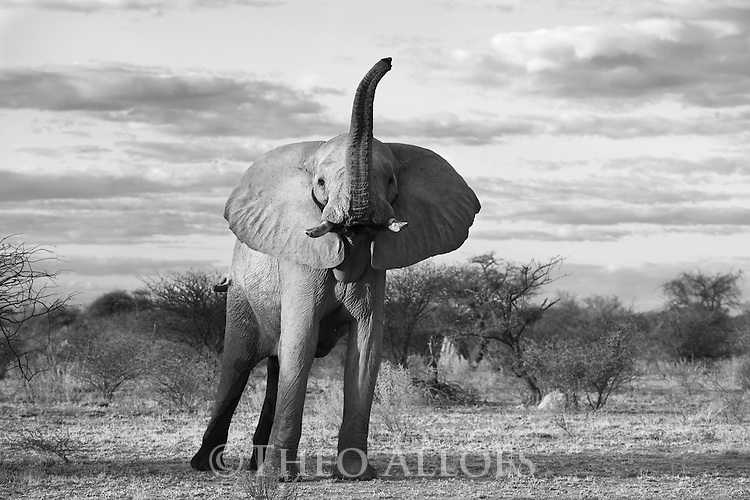 Botswana, Nxai Pan National Park, African elephant bull (Loxodonta africana) lifting trunk and flapping ears as a warning