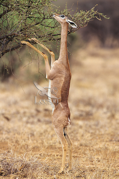"""Gerenuk (Litocranius walleri) standing up to browse folage on thorn tree--can reach 6"""" to 6.5 feet by standing on back legs  Samburu National Reserve, Kenya."""