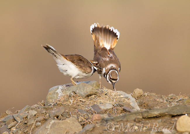 """Killdeers (Charadrius vociferus) male bowing and spreading his tail feathers as his mate approaches. They are performing the """"Nest Scrape Ceremony"""" as they investigate potential nest sites in early spring, New York, USA"""