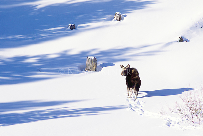 A cow moose in snow in Montana