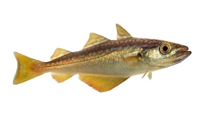 Pollack Pollachius pollachius Length to 125cm<br /> Classic fish of rocky coasts. Adult is beautifully patterned: overall, tinged golden, marbled with silvery-grey spots. Lower jaw protrudes, barbel is absent. Has 3 dorsal fins and 2 anal fins. Widespread and generally common, least so on E coasts.
