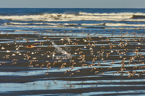 Shorebirds--mostly dunlins and western sandpipers, plus one marbled godwit--flying along Pacific Ocean.  Spring migration, Pacific Northwest.  April.  Morning