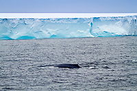 blue whale, Balaenoptera musculus, adult, sub-surface feeding off the edge of the continental shelf at the South Orkney Islands, Antarctica, Southern Ocean