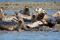 Harbor Seals, Oregon