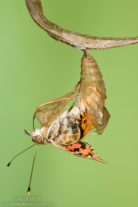 Painted Lady butterfly {Vanessa / Cynthia cardui} emerging from chrysalis. Sequence 9/14.