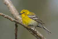 Adult male Pine Warbler (Dendroica pinus) in breeding plumage. Tompkins County, New York. May.