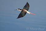 Black-necked Stilt  (Himantopus mexicanus), adult in flight, Bolsa Chica Ecological Reserve, California, USA