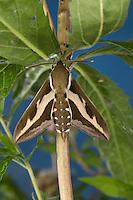 Labkrautschwärmer, Labkraut-Schwärmer, Hyles gallii, Celerio galii, Bedstraw Hawk-Moth, Gallium Sphinx, Le Sphinx du gaillet, Sphinx de la garance, Schwärmer, Sphingidae, hawkmoths, hawk moths, sphinx moths, sphinx moth, hawk-moths, hawkmoth