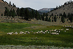 sheep grazing in Mono County
