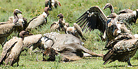 Ruppell's griffon and African white-backed vultures compete over the carcass of a wildebeest in the Serengeti National Park, Tanzania.