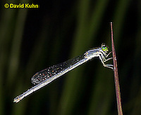 0825-06qq Eastern Forktail Damselfly - immature female - Ischnura verticalis - © David Kuhn/Dwight Kuhn Photography
