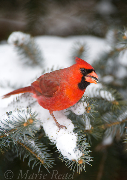 Northern Cardinal (Cardinalis cardinalis) perched in conifer eating sunflower seed, New York, USA
