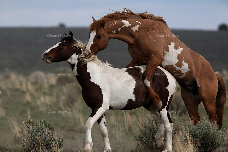 A dominant stud showed aggression with a yearling mustang that was coming of age in Steens Mountain Oregon.