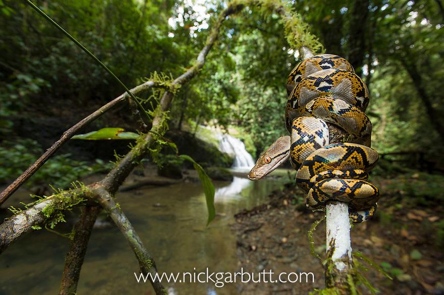 Close up of juvenile Reticulated Python (Python reticulatus) resting on sapling. Near Ginseng Camp in the heart of Maliau Basin - Sabah's 'Lost World'. Maliau Basin, Borneo.
