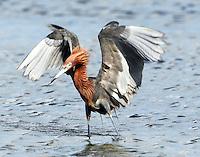 Adult intermediate color reddish egret chasing fish.