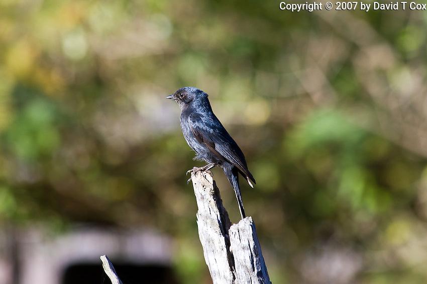 Southern-Black Flycatcher, Mlilwani Park, Swaziland