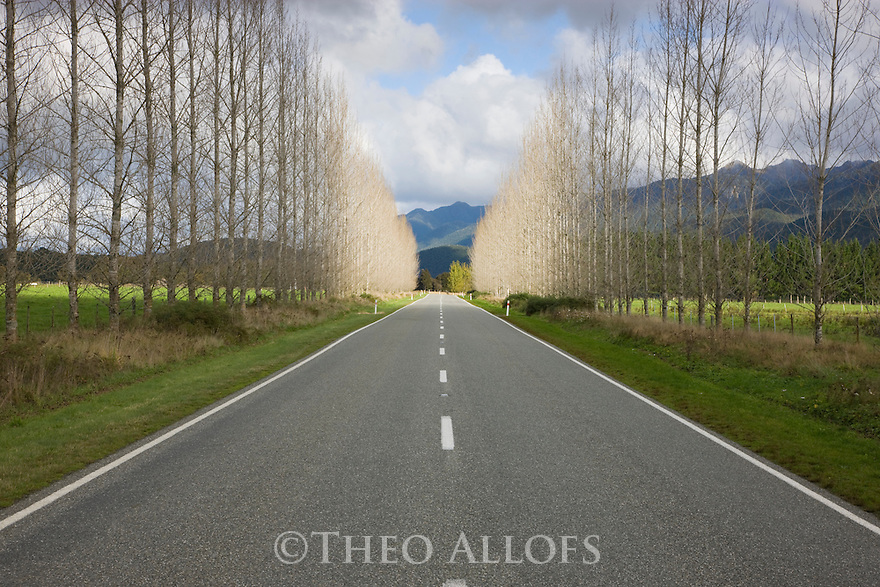 Leaf-less poplar trees flanking Highway 65 north of Springs Junction, South Island, New Zealand