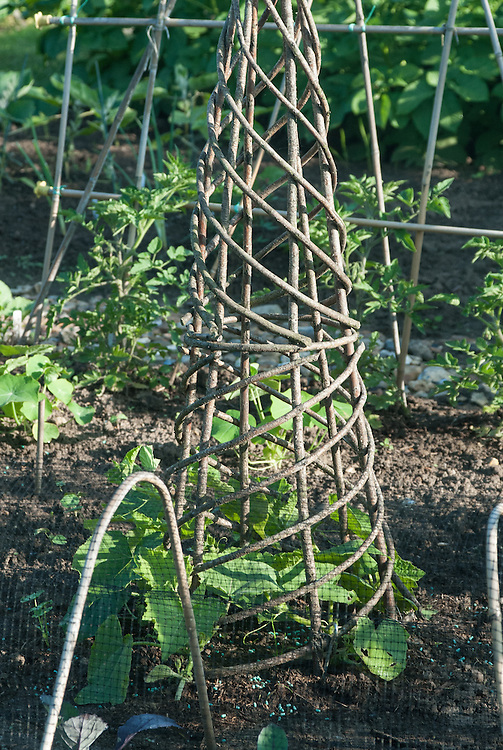 A spiral wigwam support for climbing squashes, allotment plot, early June.
