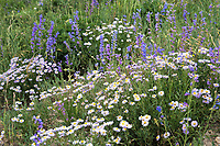 Penstemons and Asters near Crested Butte