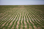 Freshly planted wheat awaits watering from a center pivot irrigation system on Mitchell Baalman's 12,000-acre farm outside of Hoxie, Kan., on Thursday, Oct. 11, 2012. As historically dry conditions continue, farmers from South Dakota to the Texas panhandle rely on the Ogallala Aquifer, the largest underground aquifer in the United States, to irrigate crops. After decades of use, the falling water level ? accelerated by historic drought conditions over the last two years ? is putting pressure on farmers to ease usage or risk becoming the last generation to grow crops on the land. Farmers like Mitchell Baalman and Brett Oelke (both not pictured), are part of a farming community in in Sheridan County, Kansas, an agricultural hub in western Kansas, who have agreed to cut back on water use for crop irrigation so that their children and future generations can continue to farm and sustain themselves on the High Plains.