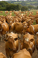 Guernsey cows on their way in for milking, Somerset.