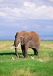 African elephant with cattle egret, Amboseli National Park, Kenya