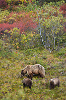 Grizzly bear sow and cubs of the year forage for berries on the tundra in Sable Pass, Denali National Park, Interior, Alaska.
